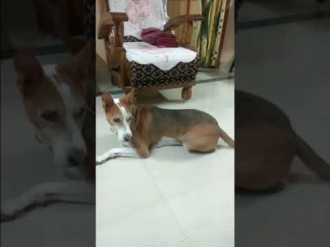Basenji Dog Reaction To Barking