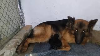German shepherd female dog complete delivery video pregnancy and days..  Urdu Hindi