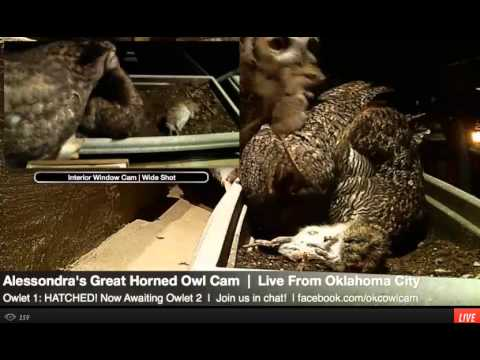 Alessondra's OKC Great Horned Owl-Cam 24th Feb 2013 (12 14 AM) Food delivery