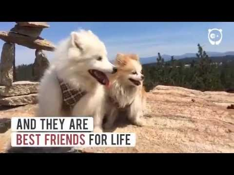 This Blind Dog and his seeing-Eye Guide Puppy are best friends!