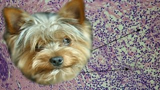 Гиперплазия у собак | Причины | Симптомы | Лечение.
