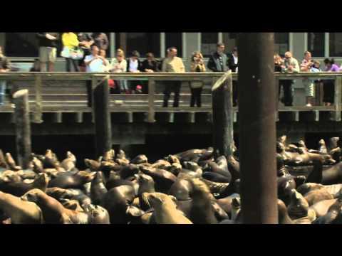Sea Lions Pier 39 Fishermans Wharf San Francisco Bay California