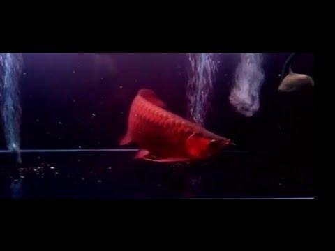 freshwater aquarium fish the best colorful exotic tropical arowana red  freshwater fish