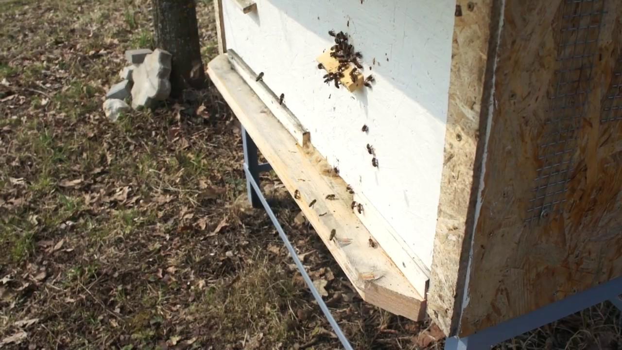 Весеняя работа пчел. Очень большая пчелосемья 08.04.2017