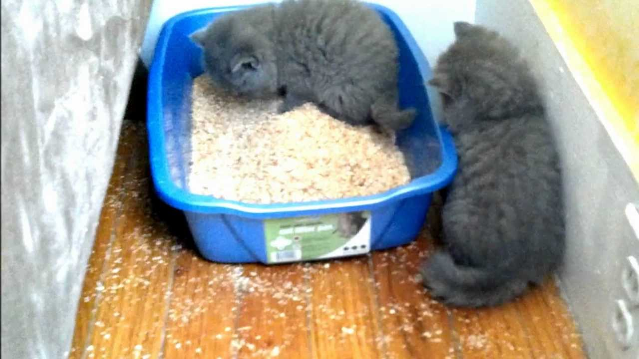 Kitten Learning To Use The Litter Box Youtube