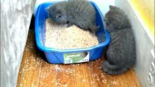 Kitten learning to use the litter box
