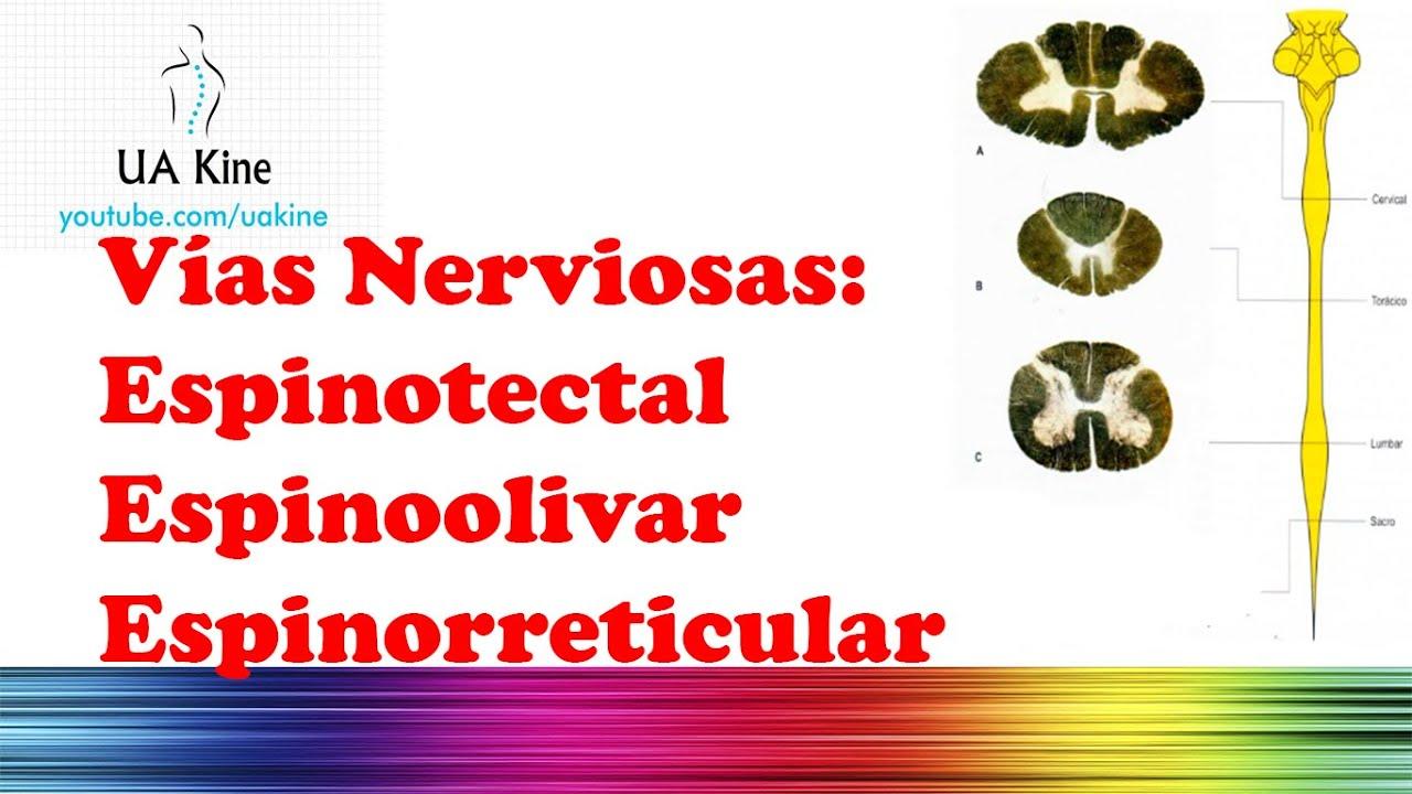 Vias Nerviosas: EspinoTectal EspinoOlivar Espinorreticular - YouTube