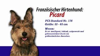 Französische Hirtenhunde Picard - Meister Petz Tv Rasseportrait Mpt 129