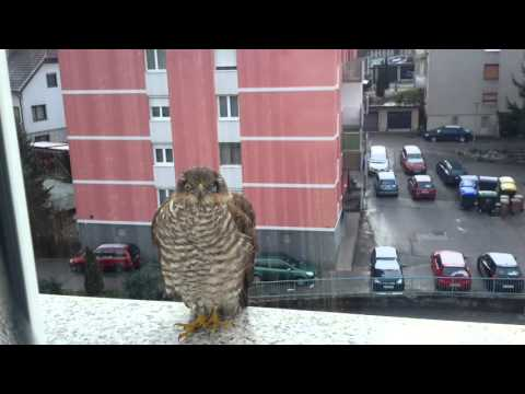 Sparrowhawk on fifth floor in the middle of city Trbovlje Slovenia 2