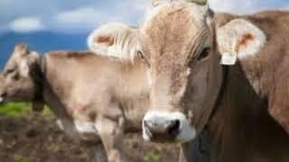 Cri de Vache - Bruit Boeuf  - Cris des Animaux