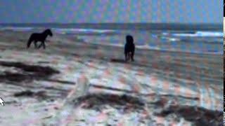 Wild Horse Stallions Fight For Herd On Beach - Good Herd Behavior & Snaking Action