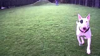 Toy Bull Terrier 01
