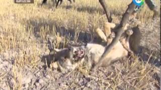 Алай Лидер! Национальна Охота на Волка С Тайганами