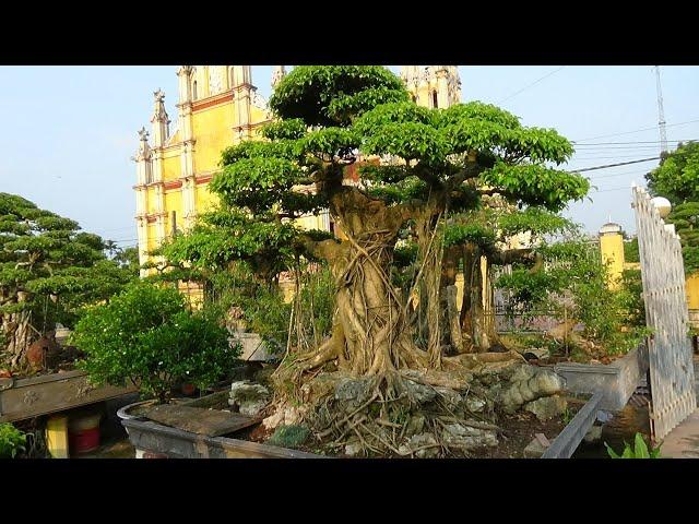 SH.1640.Nh?ng cây Sanh dáng tr?c c? r?t ??p t?i nhà v??n Phi Nguy?t