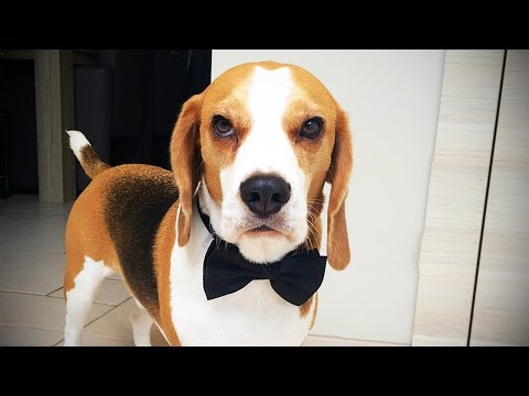 BEAGLES ARE AWESOME ★ 17 FUNNY Beagles [Funny Pets]