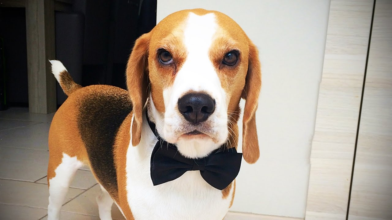 Beagles are awesome 17 funny beagles funny pets youtube voltagebd Gallery