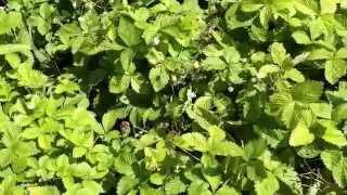 Земляника белая (ананасная)(Добрый день! Мы занимаемся выращиванием и продажей растений для ландшафтного дизайна. В ассортименте собст..., 2014-07-02T16:43:25.000Z)