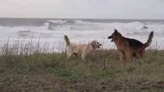 German Shepherd And Golden Retriever Playing Near The Beach