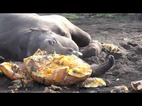 Elephants smash pumpkins at the 2016 Squishing of the Squash