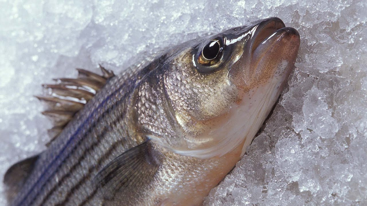 Antifreeze proteins prevent fish from freezing youtube for How to freeze fish
