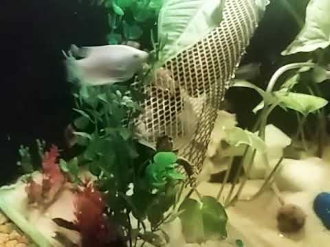 cichlid and gourami fish....both in one tank!