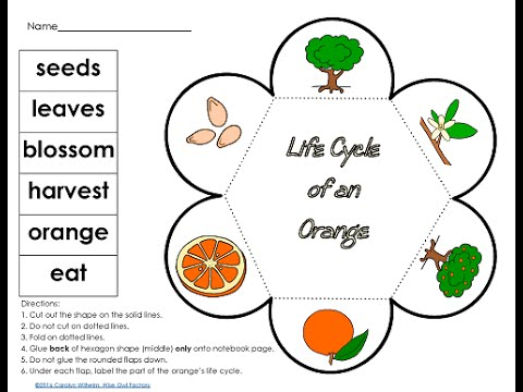Diagram Of Life Cycle Of Orange Tree. a life cycle of an orange tree on a  white background. life cycle of orange tree stages of growth from seed and.  interactive for the2002-acura-tl-radio.info