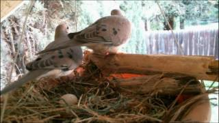 Mourning Dove Family - Part 1 (Nesting, laying and egg care) YouTube Videos