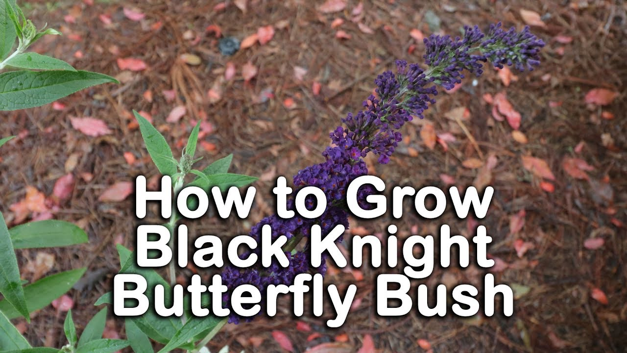 How To Grow Black Knight Butterfly Bush Dark Purple Butterfly Bush