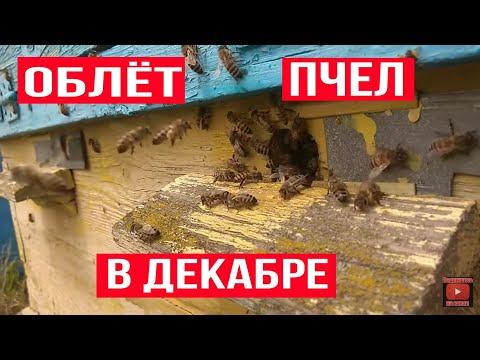 Вопрос: Спят ли пчёлы в декабре?