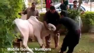 Very Dangerous Cows Qurbani  for EID ul Azha Clips Collection 2015
