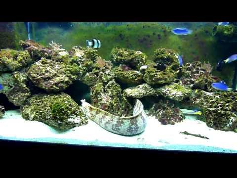 75g Saltwater Aquarium - Dragon Moray Eel W/ Various Damsels