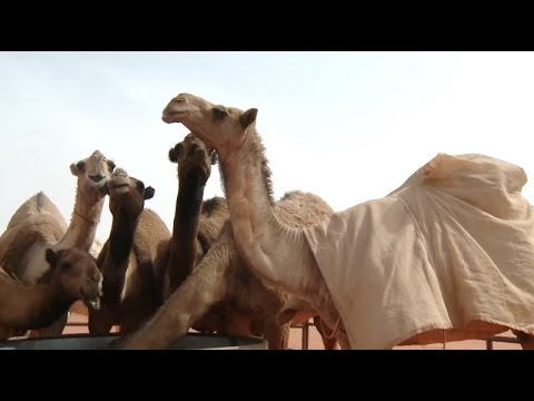 Saudi Arabia's Annual Camel Festival Concludes