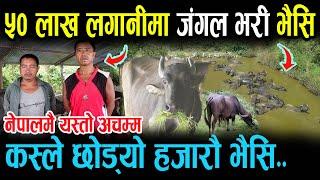 नेपालमै अचम्म ! ५० लाख लगानीमा बाघ डुल्ने जङ्गल भरी भैंसी नै भैंसी Buffalo farming in Nepal