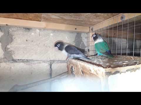 неразлучники масковые // Mask Lovebirds // черный + синий // часть 2