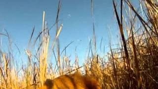 Dog's Eye View Of Pheasant Hunting