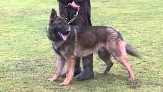 Northumbria Police Dog - Leon
