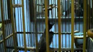 Repeat youtube video นกเสียงทองจ้าวตาล+นับดอก+สากล ( Ku Aon)