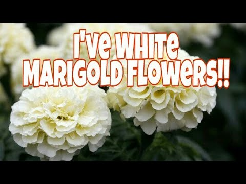 Rare White Marigold Flowers Definately Watch This U Will Be