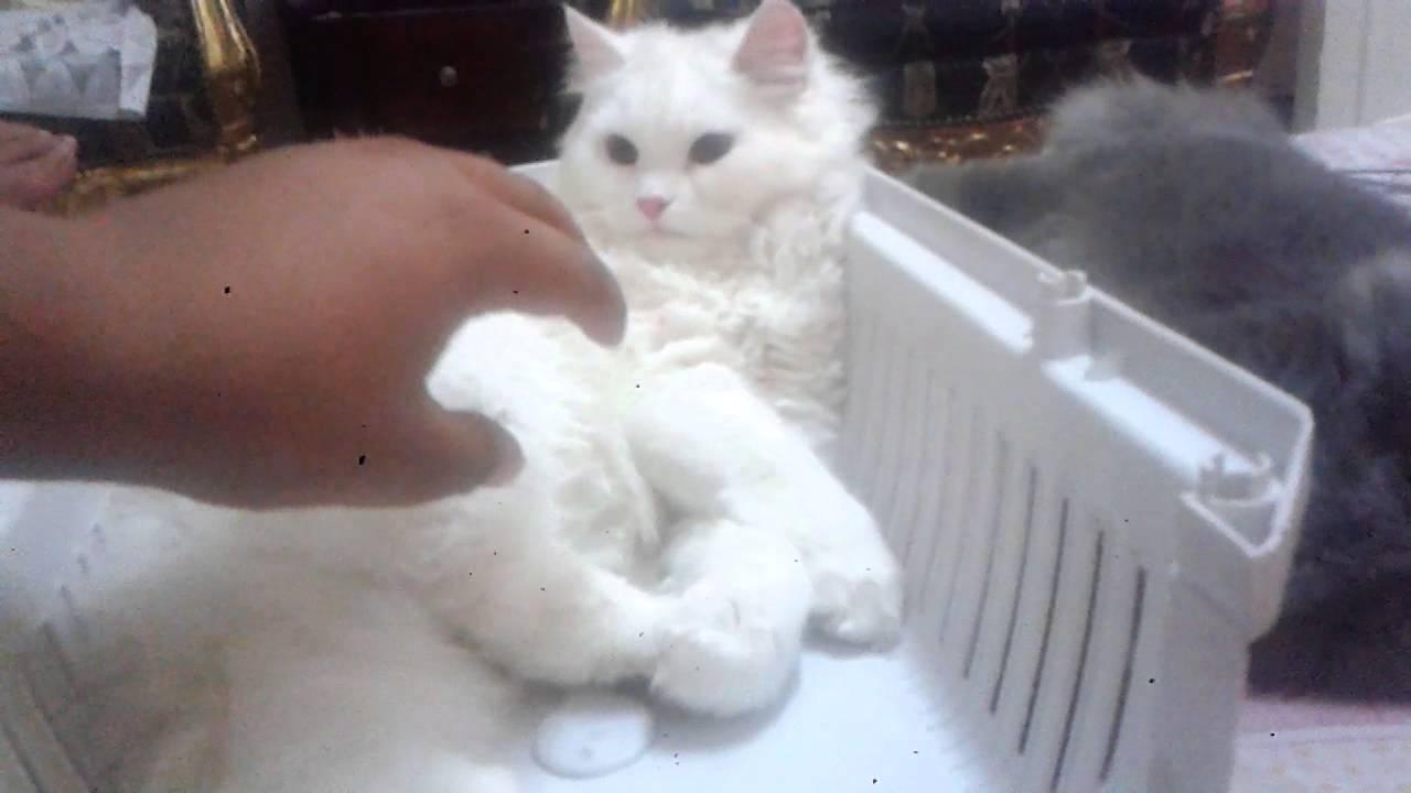 قطط شيرازي ابيض و رمادي Youtube