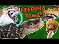 Feeding our BIG Reptiles!