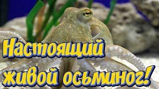 Настоящий морской осьминог в  аквариуме! Красивый обитатель морского аквариума осьминог!