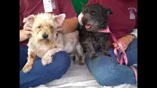 A4831533 Nora | West Highland Terrier Mix, A48315334 Nicki | Scottish Terrier Mix