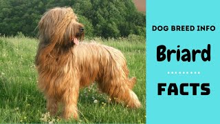 Briard dog breed. All breed characteristics and facts about Briard dogs
