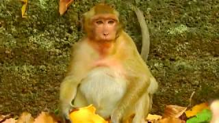 fat monkey eat mango so fast,so love;y monkey sweet pea-Amazing Monkey Matting in Angkor