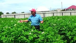 Вся картошка вырастает с кулак- мельче не бывает! Что для этого делают.