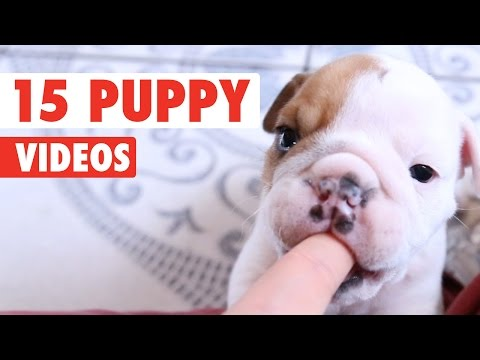 Thumbnail: 15 Funny Puppy Videos Compilation 2016