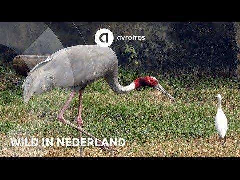 Wild in Nederland: