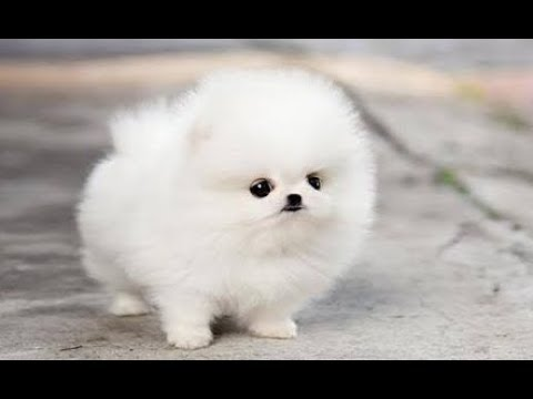 Pomeranians The Most Beautiful Dog in the World