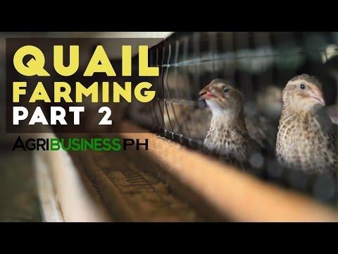 Quail farming and grow out management   Quail farming part 2 #Agribusiness
