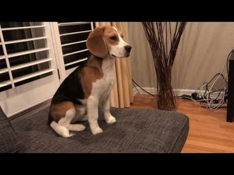 Beagle puppy alarmed by thunderstorm